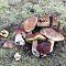 Puravikud - metsas seenel