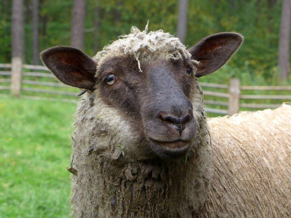olen lammas