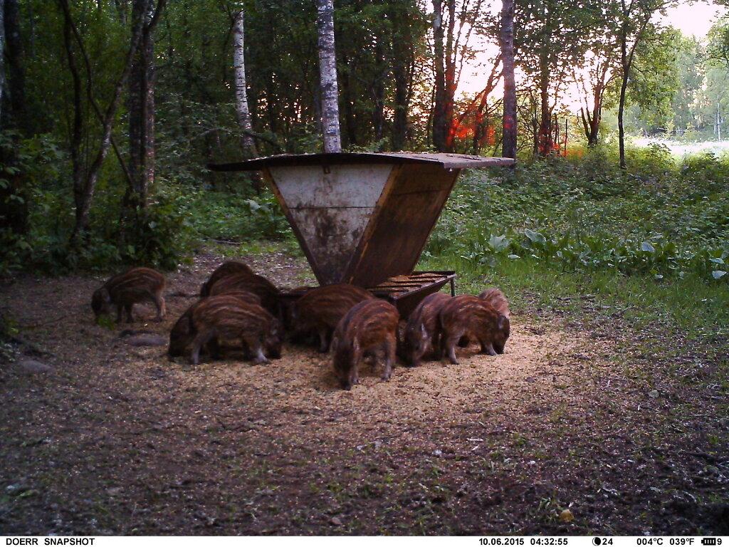 Metssea põrsad