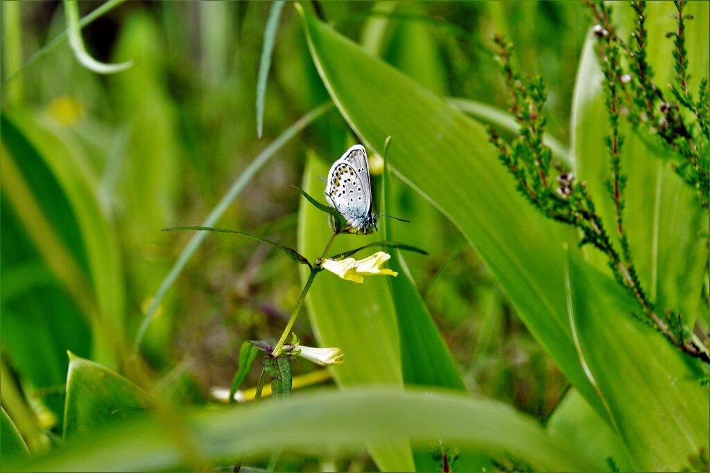 liblikas