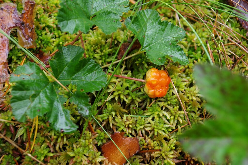 Rabamurakas (Rubus chamaemorus)